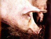 Вниманию хозяйствующих субъектов. Ящур – опасное зооантропонозное инфекционное заболевание