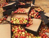 В Брянской области пресечен ввоз из Республики Беларусь очередной партии яблок неустановленного происхождения