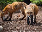 Эпизоотическая ситуация по бешенству среди животных на территории Калужской области в 2020 году улучшилась