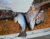 В Смоленской области Управлением Россельхознадзора запрещен ввоз рыбной продукции из Республики Беларусь