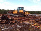 На полигонах ТБО Брянской и Смоленской областей уничтожены яблоки неизвестного происхождения