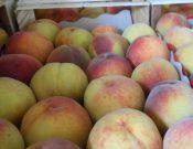 Очередная партия зараженных персиков возвращена отправителю