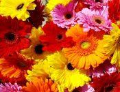 В Смоленской области в цветах из Кении, Эквадора и Нидерландов обнаружен трипс