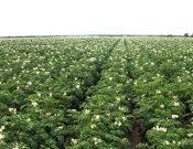 Вниманию специалистов картофелеводческих хозяйств