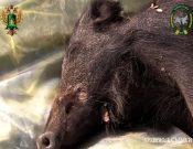 Африканская чума свиней вновь зарегистрирована в Калужской области