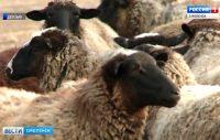 Видео. Смоленские ветеринары предупредили об опасности заболеваний овец и коз, ГТРК «Смоленск»