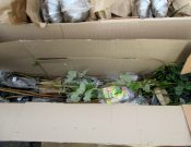 В Смоленской области выявлены факты нарушений при ввозе посадочного материала