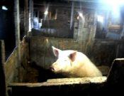 В Брянской области по результатам проверки, проведенной Управлением Россельхознадзора, суд на 20 суток приостановил деятельность хозяйства, занимающегося свиноводством