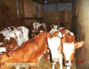 Управление Россельхознадзора отмечает увеличение случаев бесконтрольного перемещения сельскохозяйственных животных
