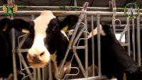 Видео: Губкообразная энцефалопатия крупного рогатого скота (ГЭ КРС, BSE) — опасное инфекционное заболевание