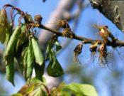 Видео. Вниманию садоводов! Бурая монилиозная гниль — опасное карантинное заболевание!