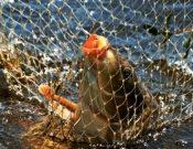 Аэромоноз карповых рыб
