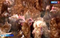 Видео. Смоленских фермеров предупредили об опасности птичьего гриппа. ГТРК «Смоленск»