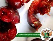 Восточная плодожорка, средиземноморская плодовая муха и западный цветочный трипс выявлены в импортных плодах, цветах и ягодах