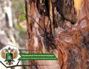 Обследования лесных насаждений в Брянской области подтвердило наличие карантинных вредителей