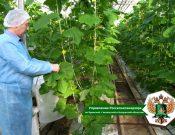 Специалисты Управления Россельхознадзора проверили исполнение карантинных фитосанитарных режимов по трипсу в Брянской области