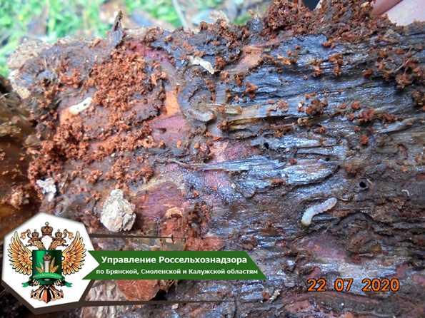 В Смоленской области на площади более 116 тысяч гектаров наложен карантин по усачам рода Monochamus