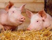 Африканская чума свиней: риск заноса по-прежнему высок