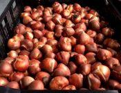 В Смоленской области Управлением Россельхознадзора запрещен ввоз более 480 тыс. штук луковиц цветочных культур