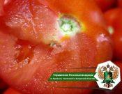 В Брянской области запрещен ввоз более 19 тонн турецких томатов, зараженных карантинным вредителем