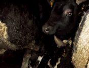 В Брянской области Управлением Россельхознадзора запрещен нелегальный ввоз крупного рогатого скота с территории Республики Беларусь