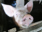 Вниманию руководителей свиноводческих хозяйств и владельцев животных. Риск распространения АЧС по-прежнему высок!