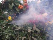 В Калужской области уничтожены зараженные карантинным вредителем цветы
