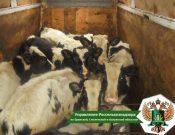 В 2021 году в Брянской области продолжают выявляться случаи перевозок сельскохозяйственных животных без ветеринарных документов