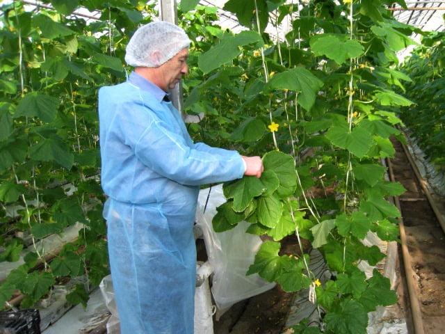 В Смоленской области в тепличном комбинате снят карантин по западному цветочному трипсу