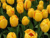 В преддверии 8 марта Управлением Россельхознадзора проведен фитоконтроль цветов и цветочных луковиц, вывозимых из Калужской области
