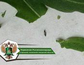 В Брянской области Управлением Россельхознадзора запрещен ввоз более 3 тонн рукколы, зараженной трипсом