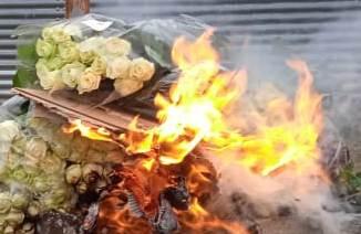 В Калужской области уничтожены розы, зараженные западным цветочным трипсом