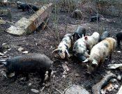 В Брянской области в ходе проверки личного подсобного хозяйства, занимающегося разведением свиней, выявлены многочисленные нарушения
