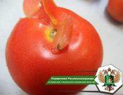 В Турцию вновь возвращены томаты, зараженные молью