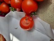 Свежие томаты, зараженные южноамериканской томатной молью, возвращены экспортеру