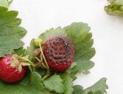 О карантинных грибных заболеваниях земляники и малины
