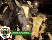 В Брянской области на территорию Республики Беларусь возвращено две партии нелегально ввезенных сельскохозяйственных животных